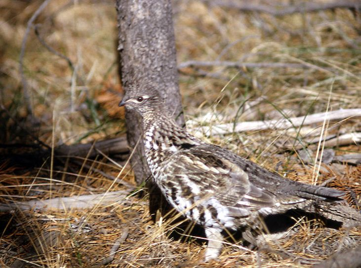 Ruffed Grouse in the Wild