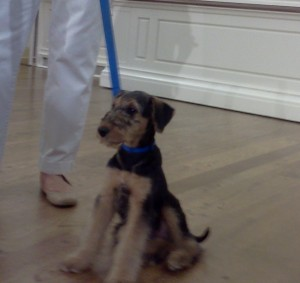 """Meet """"Harry,"""" the male Airedale Terrier. His name is short for """"Harrisburg"""""""