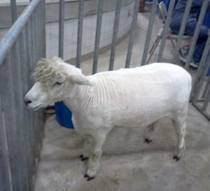 Farm Show, Sheep