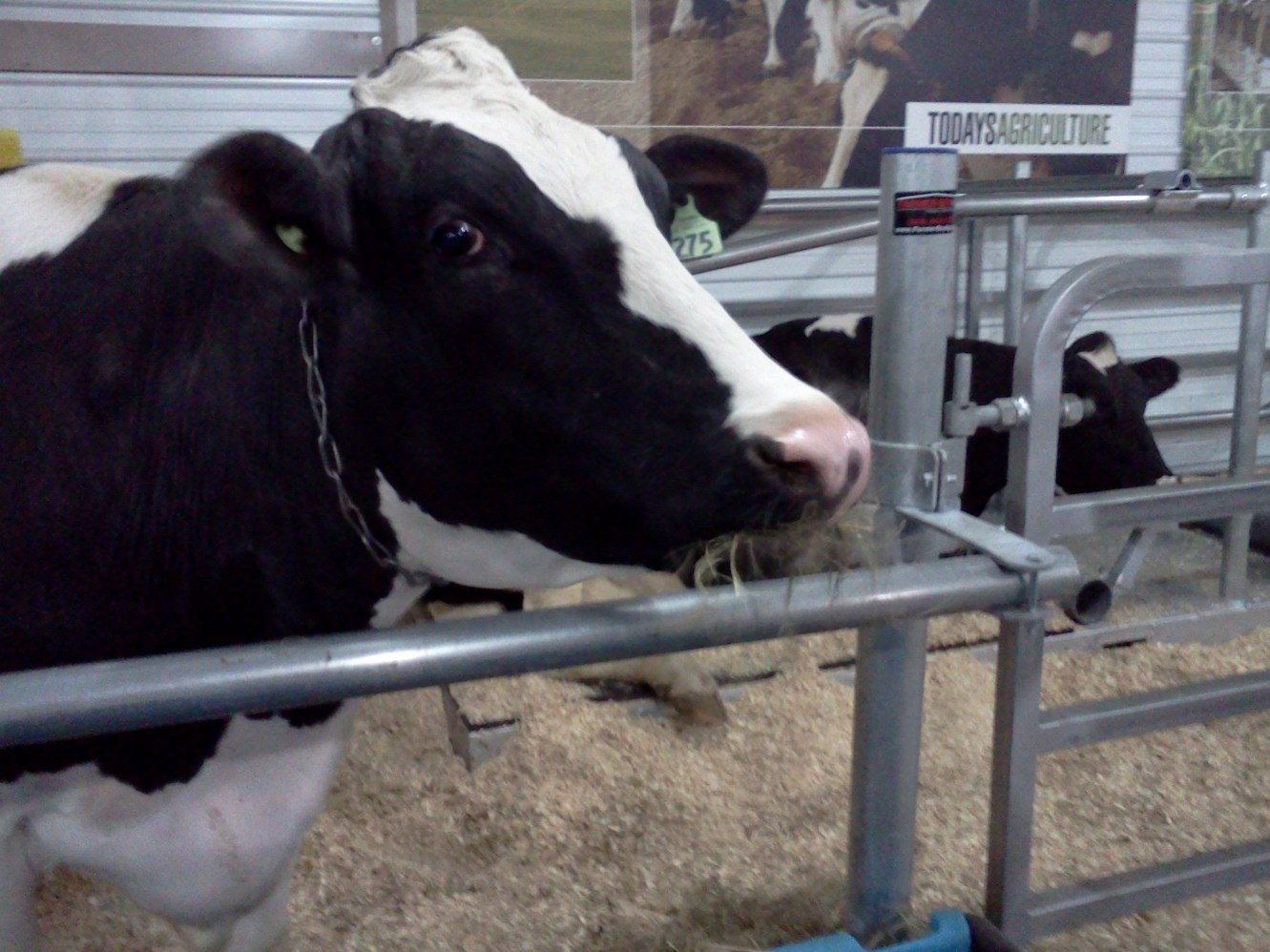cows, dairy
