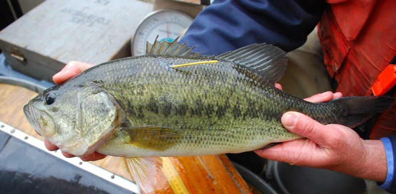 Walleye, bass and trout in eight Pennsylvania waterways have been tagged.