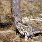 Ruffed Grouse in the Wild